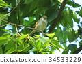 bush warbler, japanese bush warbler, nightingale 34533229