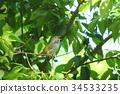 bush warbler, japanese bush warbler, nightingale 34533235