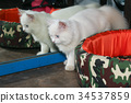 White Persian cat is standing in front of mirror 34537859