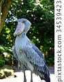 鯨頭鸛 鳥兒 鳥 34539423