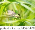 迁徙蝗 昆虫 虫子 34540429