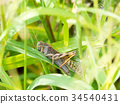 遷徙蝗 昆蟲 蟲子 34540431