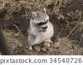 浣熊 狸 動物 34540726