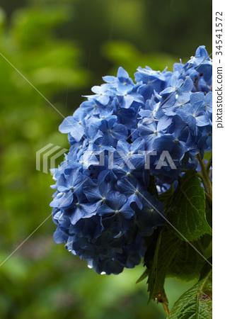 繡球花 花朵 花 34541572