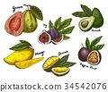 Fig and guava, avocado and mango,maracuya sketches 34542076