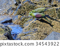 white-bellied, green, pigeon 34543922