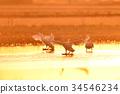 天鵝 鳥兒 鳥 34546234