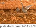 天鵝 鳥兒 鳥 34549179