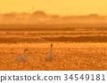 天鵝 鳥兒 鳥 34549181