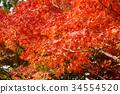 秋天 秋 枫树 34554520