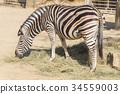 Chapman Zebra , Equus Burchelli Chapmani 34559003