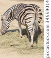 Chapman Zebra eating grass 34559014