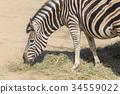 Chapman Zebra , Equus Burchelli Chapmani 34559022