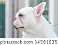 white French bulldog 34561935