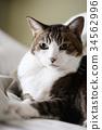 고양이 고양이 cat 애완 동물 야옹이 고양이 동물 실내 휴식 얼굴 34562996