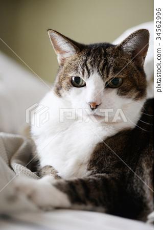 Cat cat cat cat pussy cat animal indoor relaxing face 34562996