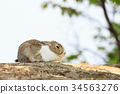토끼, 오오쿠노시마, 오쿠노시마 34563276