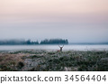 Red deer with antlers on foggy field, Belarus. 34564404