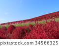 코키아, 가을, 단풍 34566325