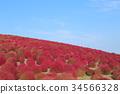 코키아, 가을, 단풍 34566328