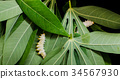 Silkworm on green leaf 34567930