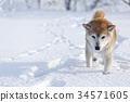 dog, dogs, Shiba 34571605