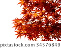 maple, yellow leafe, red leafe 34576849