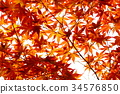 maple, yellow leafe, red leafe 34576850