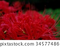 cluster amaryllis, red spider lily, cluster amarylli 34577486