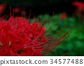 cluster amaryllis, red spider lily, cluster amarylli 34577488