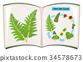 Book of fern life cycle 34578673