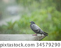 homeless pigeon bird standing in hard raining 34579290