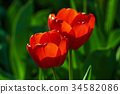 Two red tulips 34582086