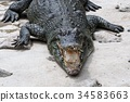 alligator, crocodile, crocodilian 34583663