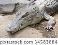 alligator, crocodile, crocodilian 34583664