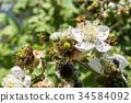 Hoverfly (Eupeodes corolae) on Blackberry Flower 34584092