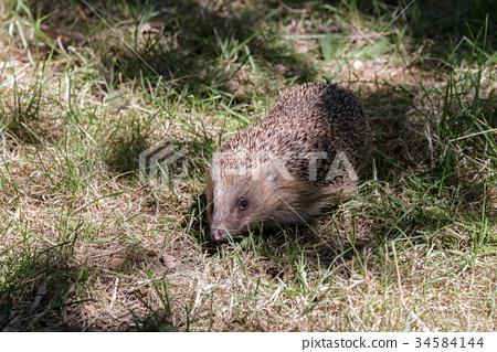 European Hedgehog (Erinaceus europaeus) 34584144