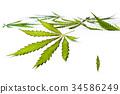 Big marijuana leafs on white background 34586249