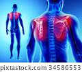 3D illustration of Scapula, medical concept. 34586553