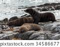 New Zealand fur seal (Arctocephalus forsteri) 34586677