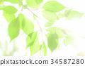 tender green, verdure, foliage 34587280