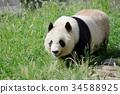 panda, pandas, animal 34588925
