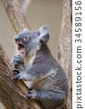 코알라, 동물, 유대류 34589156