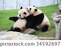 panda, pandas, Giant 34592697