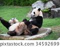 panda, pandas, Giant 34592699