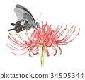 나비와 피안 꽃 34595344