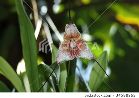 Orchid flower Dracula 34598865