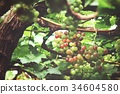 Grapes in vineyard 34604580