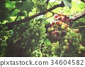 Grapes in vineyard 34604582