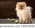 Spitz-dog in studio on a neutral background 34604696